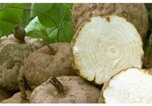 プエラリア・ミリフィカの根塊